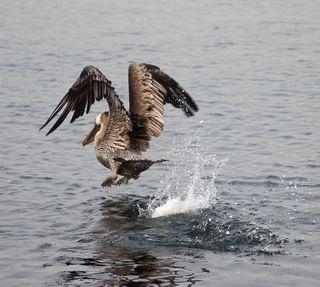 Pelican9