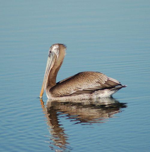 Pelican208